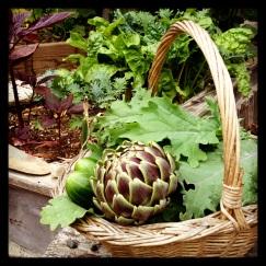 2013 Harvest, first artichoke