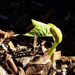 Bean sprouting in veggie garden